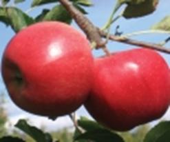 Apple - Crimson Gold