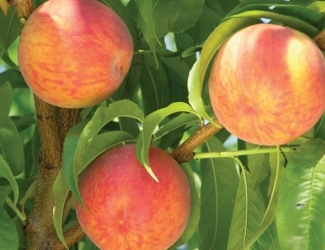 Peach - Flamin' Fury Lucky 13