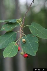 Allegheny Serviceberry