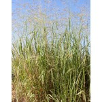 Switchgrass - 1lb package
